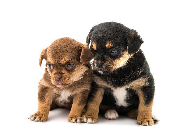 Filhotes de cachorros