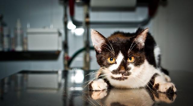 fiv-aids-felina