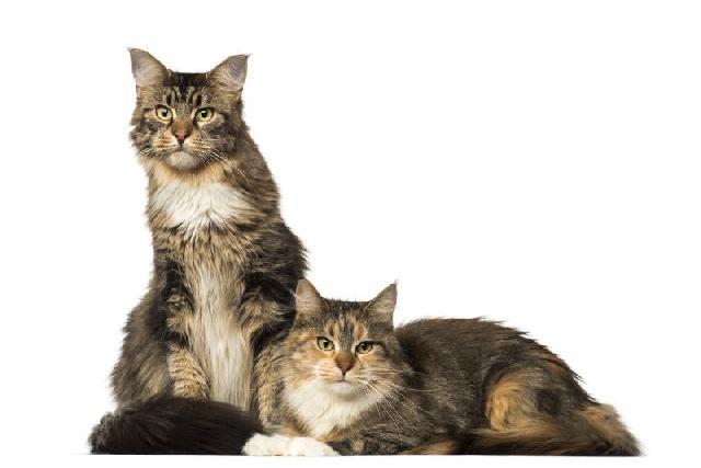 Fotos de gatos gigantes