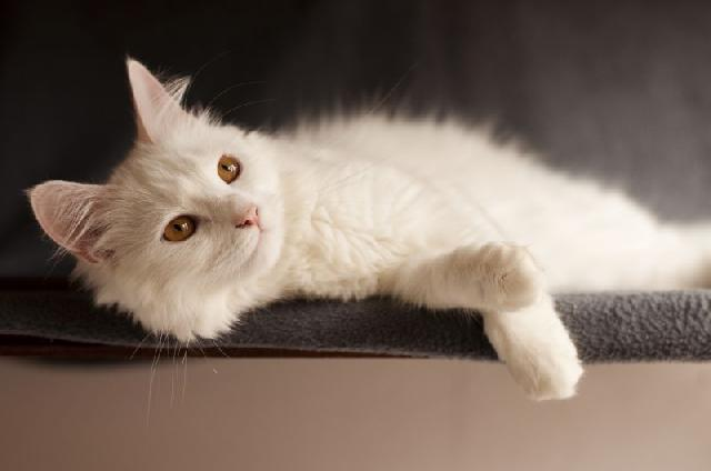 fotos-gatinhos-brancos-deitados