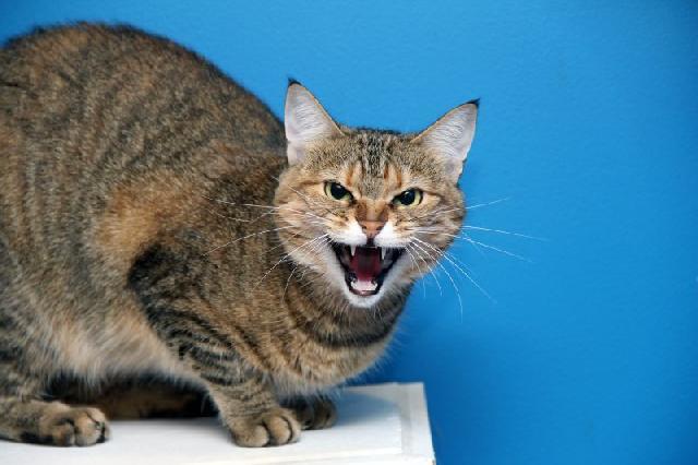 gato-arisco