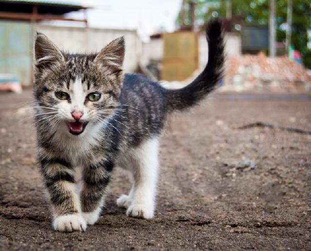 gato-mia