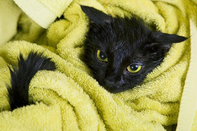 gato-preto-tomando-banho