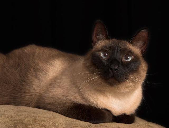 gato-siames-raca