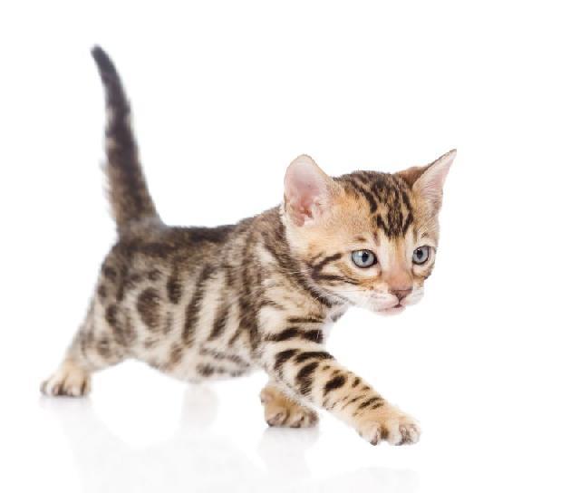 Gatos veem donos como felinos gigantes