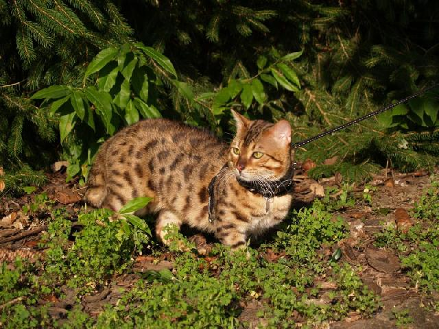 gatos-gigantes-ashera