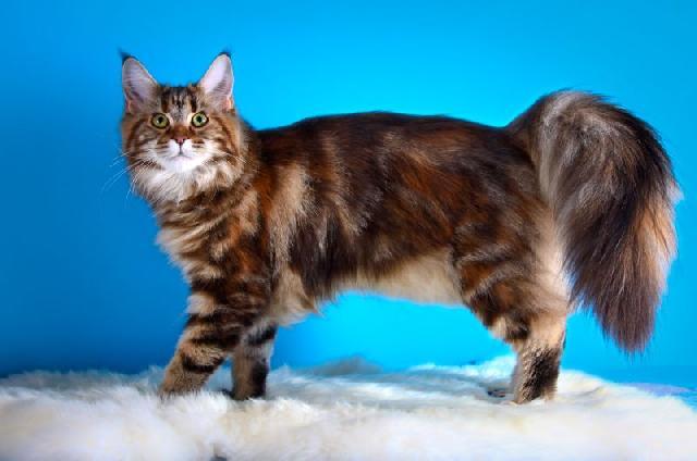 gatos-gigantes-maine-coon