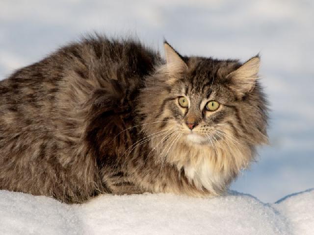 gatos-gigantes-noruegues-floresta