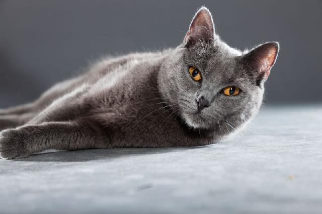 gatos-pelo-curto-chartreux