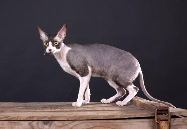 gatos-pelo-curto-cornish-rex