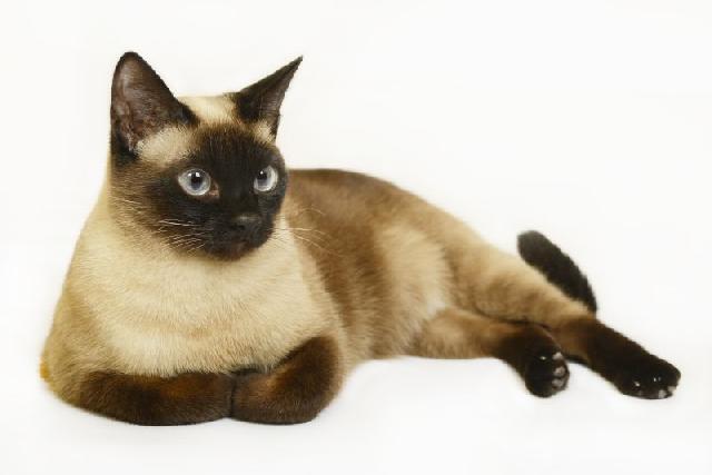 gatos-pelo-curto-siames