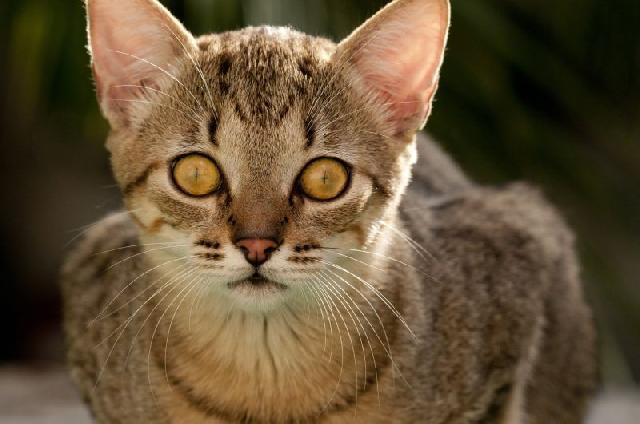 gatos-pelo-curto
