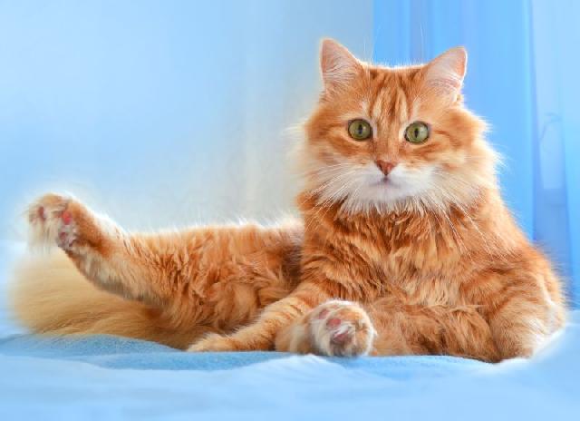 gatos-peludos-angora