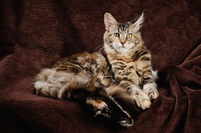 gatos-peludos-maine-coon