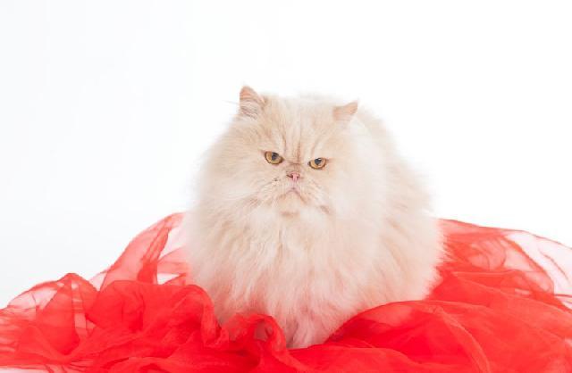 gatos-peludos-persa