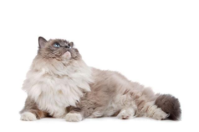 gatos-peludos-ragdoll