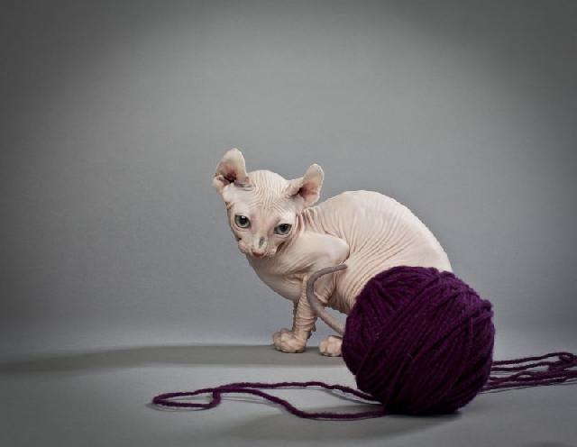 gatos-sem-pelos