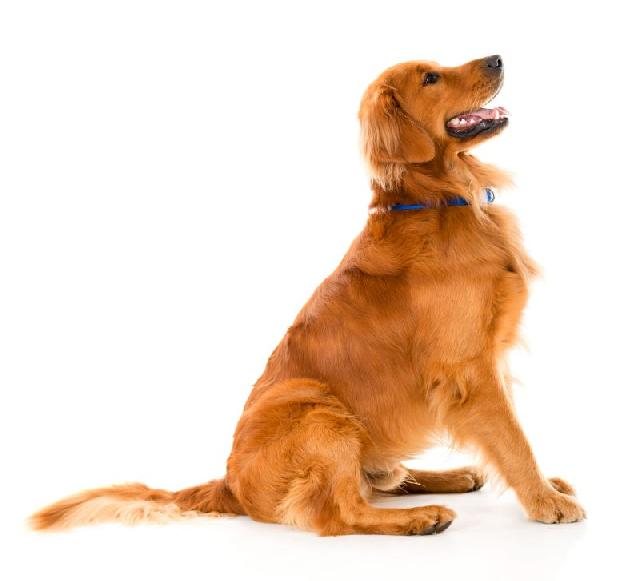 golden-retriever-caes-mais-inteligentes