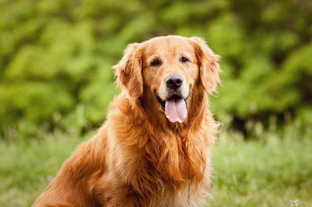 Golden Retriever - Raça de Cachorros Grandes