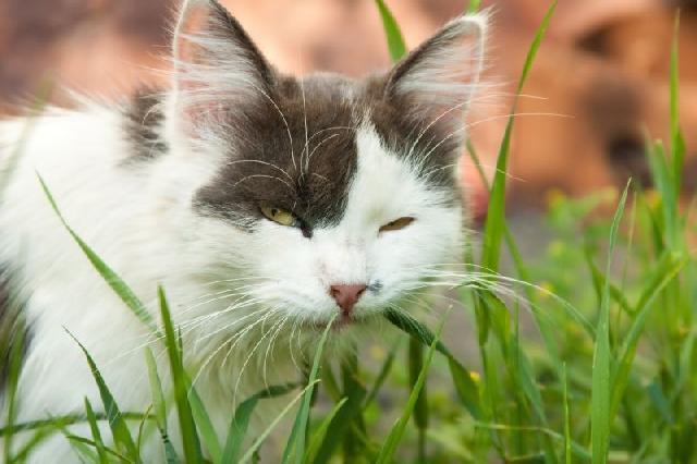 grama-para-gatos