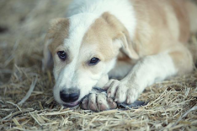 gravidez-psicologica-pseudociese-canina