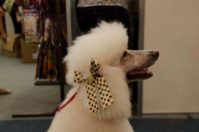 Poodle tosado pela groomer Olga Zabelinskaya