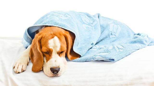 hepatite-infecciosa-canina