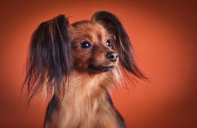 higiene-ouvido-cachorros