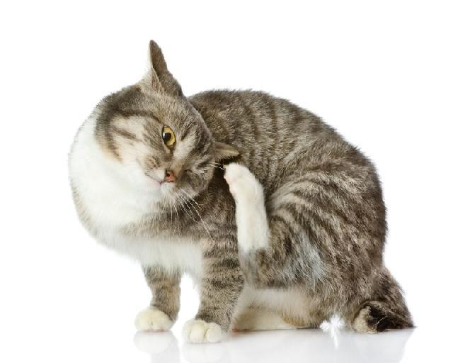 antipulgas-caes-gatos-acrescimo