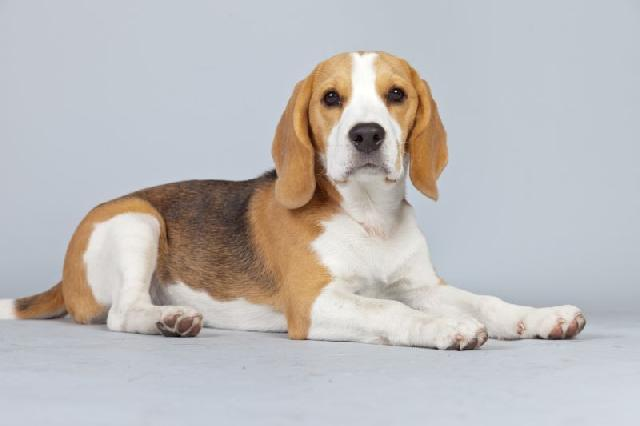 cachorro-medio-porte-beagle