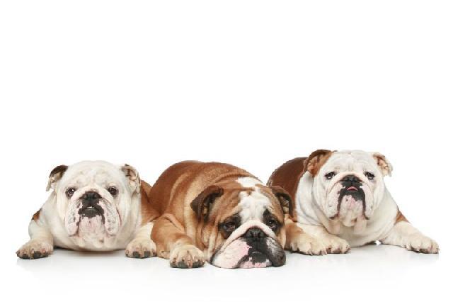 cachorro-medio-porte-bulldog