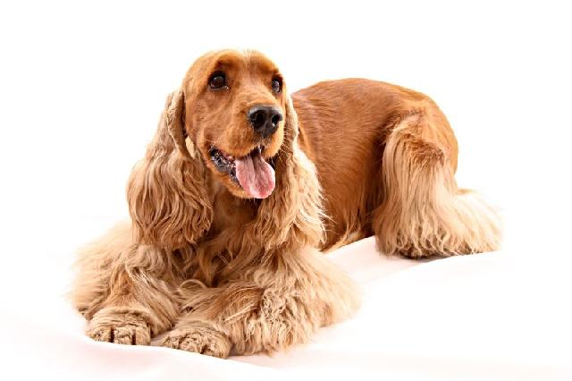 cachorro-medio-porte-cocker
