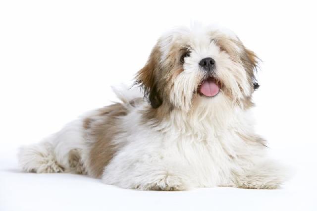 cachorro-porte-medio-lhasa-apso