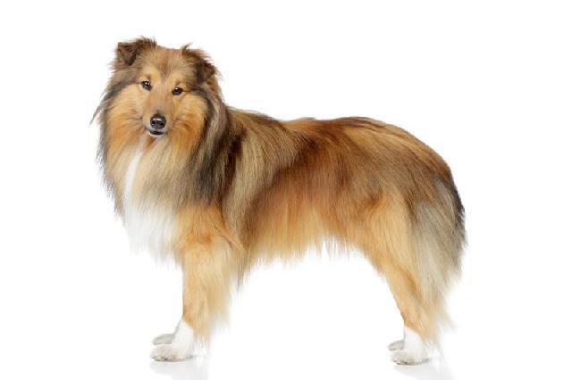 cachorro-porte-medio-shetland