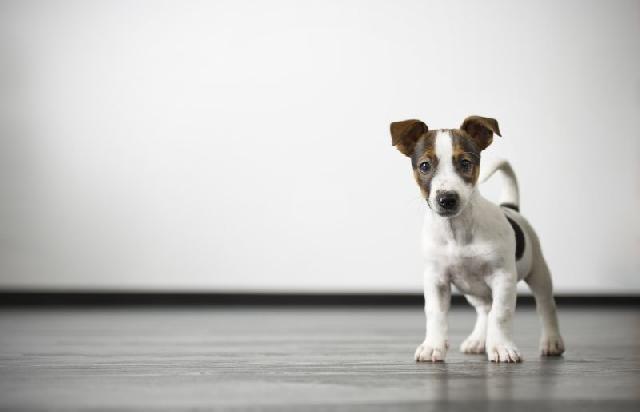 castracao-de-cachorro