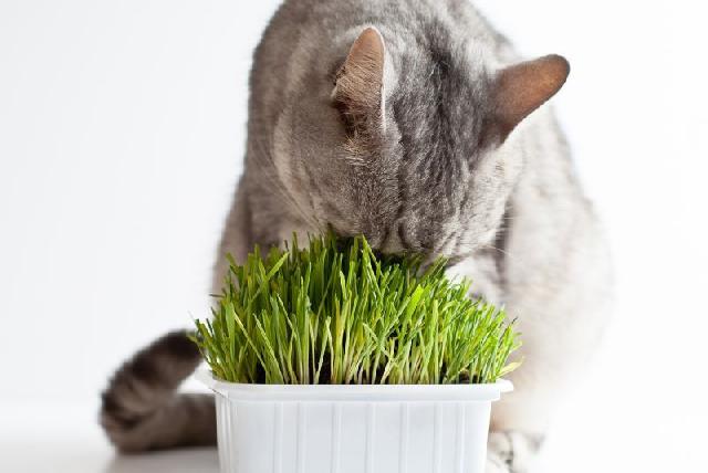 erva-gatos