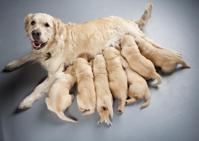 inseminacao-artificial-cadelas