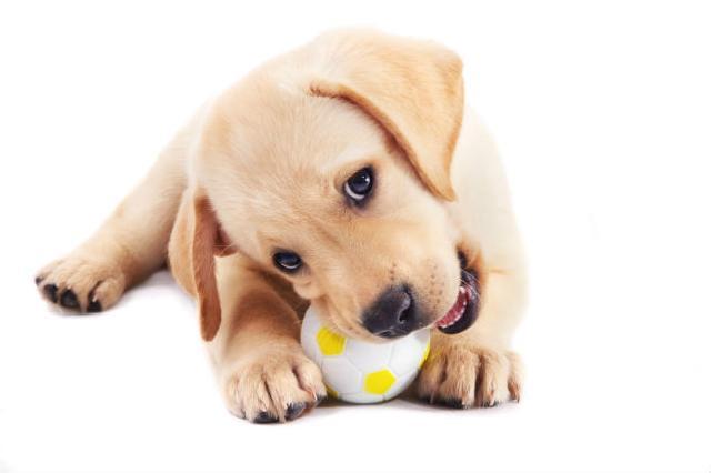 Como socorrer seu pet quando ele come um objeto que não devia
