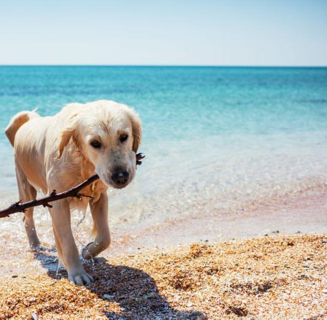 Intermação em cães e gatos