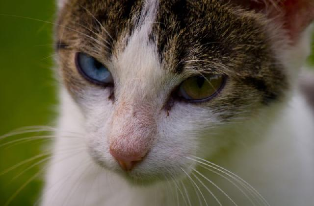 khao-manee-gatos-exoticos