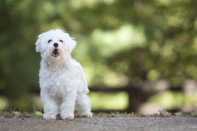 latido-cachorro-poodle