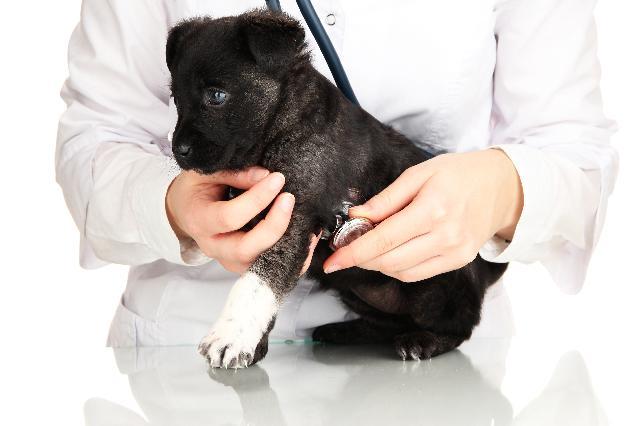 Leptospirose em Cães ou Doença dos Ratos