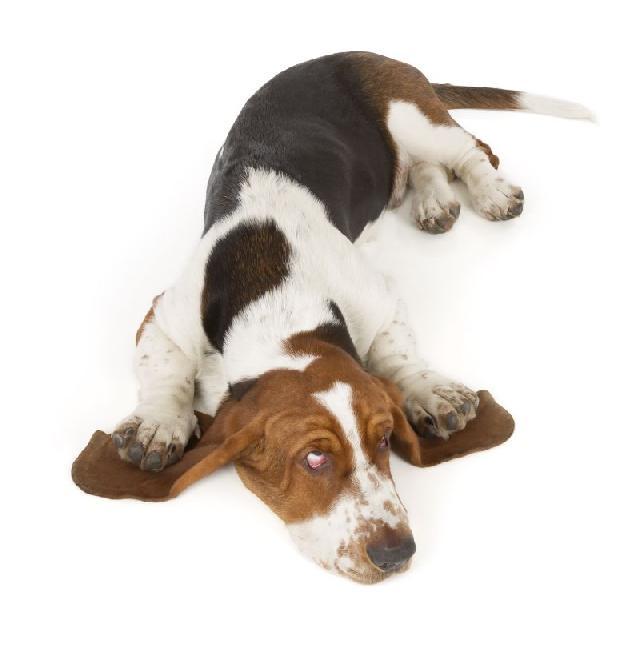 limpar-ouvido-cachorro