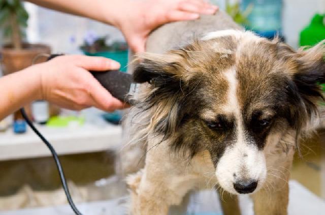 Cursos para corte de pelo canino lima