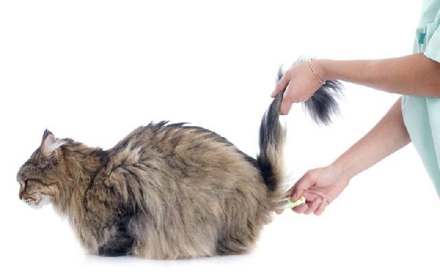 medir-temperatura-gato