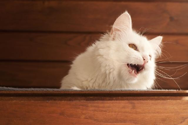 miado-gato