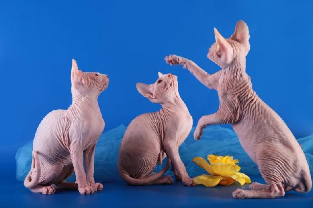 minskin-gatos-exoticos