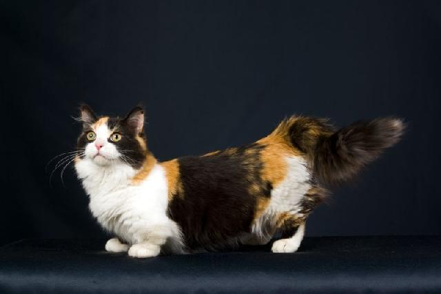 munchkin-gatos-exoticos