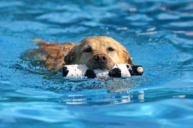 natacao-para-cachorro