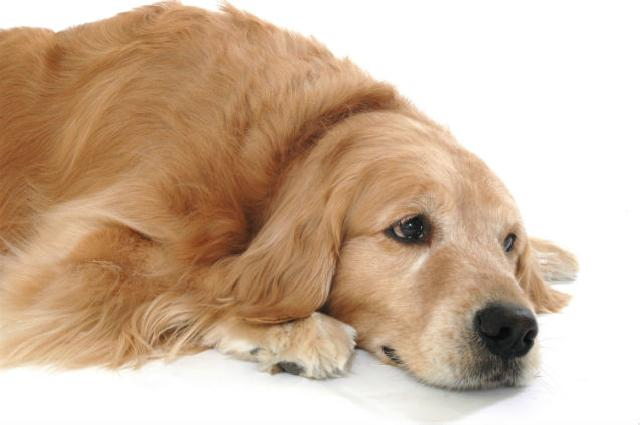 Obstrução urinária em cães e gatos